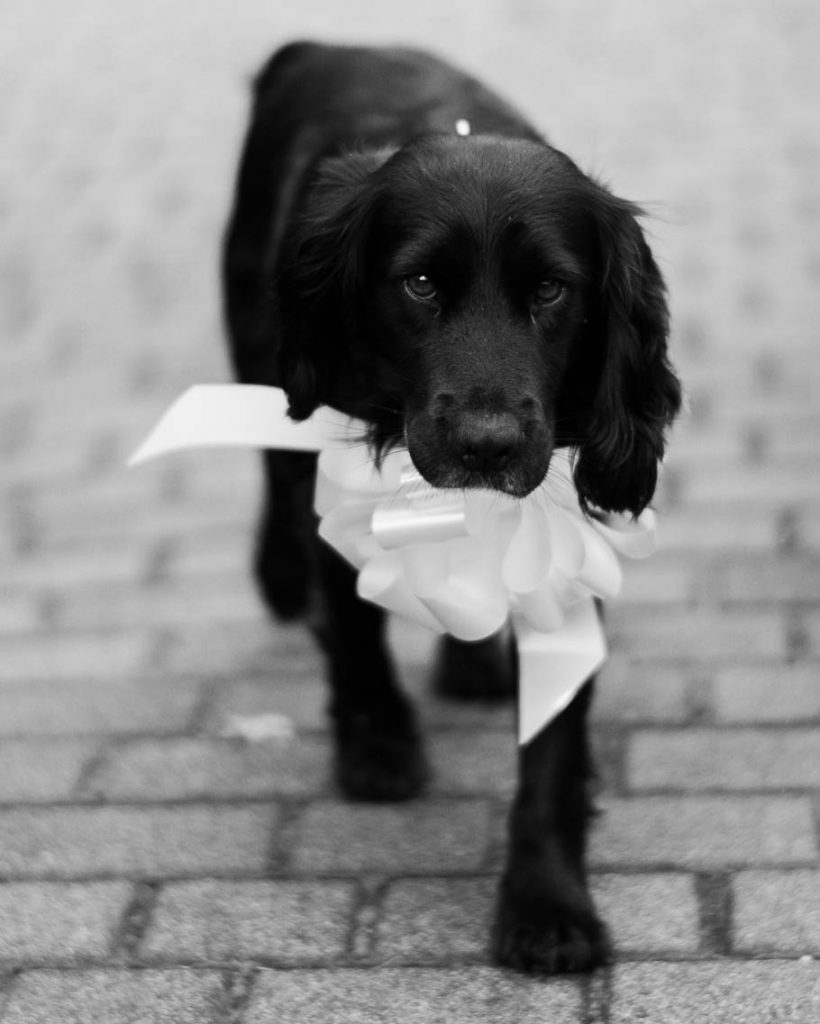 A black Labrador dog walks toward the camera holding an oversized white bow in his mouth, standing on grey bricks, by luxury wedding photographer Francesco Bognin